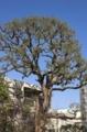 [旧朝倉家住宅]青空と巨木