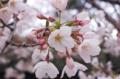 [目白]1つの蕾からいくつも花開く