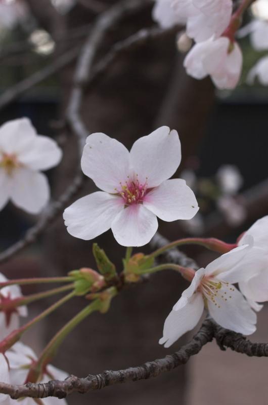 よく見ると形のいい桜