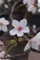 [目白]よく見ると形のいい桜