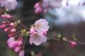 [椿山荘]芽吹く直前の蕾は貴重
