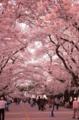 [行ったとこ][大岡山][東工大][桜]