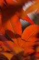 春に紅い紅葉