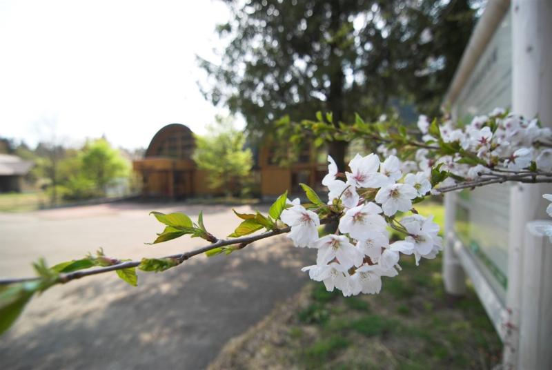 今年も最後の桜