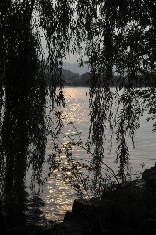 垂れ柳にも夕日が
