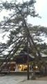 白山神社の松