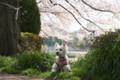 ラテとお散歩行ってきました。近くの運動場も桜が見頃です。