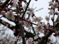 [花][梅]松本城(長野県松本市)