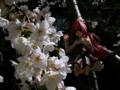 [フィギュア][オーキッドシード][神曲奏界ポリフォニカ][*Season01:春]コーティカルテ・アパ・ラグランジェス カットNo.014