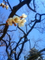 [はてなハイク][風景・景観][花][梅]松本城にて(長野県松本市)