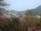 天白公園のツツジ(長野県木曽郡南木曽町)