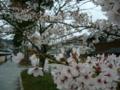 [風景・景観][桜]総持寺祖院の参道にて(石川県輪島市)