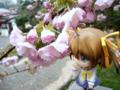 [フィギュア][*Season01:春][GoodSmileCompany][ねんどろいど][D.C. ~ダ・カーポ~][桜]ねんどろいど 朝倉音夢 カットNo.002
