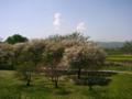 [風景・景観][空][花][桜]千曲川河川敷(長野県小布施町)