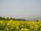 菜の花畑(長野県飯山市・千曲川河川敷)