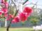 ハナモモ(北竜湖・長野県飯山市)