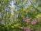 トウゴクミツバツツジ(八千穂高原自然園にて)
