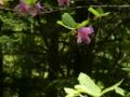 [風景・景観][森林][花]トウゴクミツバツツジ(八千穂高原自然園にて)