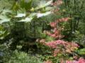 [風景・景観][森林][花]レンゲツツジ(八千穂高原自然園にて)