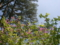 トウゴクミツバツツジ(八千穂高原自然園)