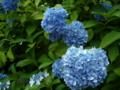 [風景・景観][花][史跡・名勝]高源院・あじさい祭り (長野県飯山市)