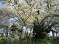 [風景・景観][花][桜]素桜神社の神代桜 (長野県長野市)