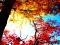 [風景・景観][史跡・名勝][紅葉][神社・仏閣]長福寺の大銀杏 (長野県北安曇郡池田町)