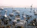 [鳥]諏訪湖畔にて