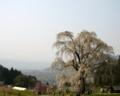 [風景・景観][桜][花]水中のしだれ桜(長野県上高井郡高山村)