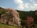 [風景・景観][桜][花]弁天さんのしだれ桜(長野県須坂市)