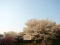[風景・景観][桜][花]谷厳寺(長野県中野市)