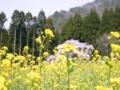 [桜]坪井のしだれ桜(長野県上高井郡高山村)