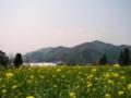 [菜の花][風景・景観]