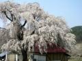 [桜]中塩のしだれ桜(長野県上高井郡高山村)