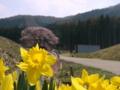 [花]黒部のエドヒガン桜(長野県上高井郡高山村)