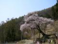 [桜]赤和観音のしだれ桜(長野県上高井郡高山村)