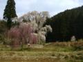 [風景・景観][桜]水中のしだれ桜(長野県上高井郡高山村)