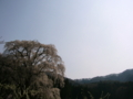 [桜]水中のしだれ桜(長野県上高井郡高山村)