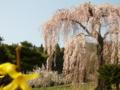 [桜]弁天さんのしだれ桜(長野県須坂市)