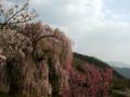 [風景・景観][桜]弁天さんのしだれ桜(長野県須坂市)