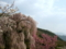 弁天さんのしだれ桜(長野県須坂市)