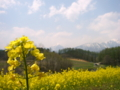 [菜の花][花][風景・景観]