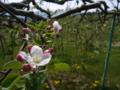 [花]りんごの花