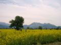 [菜の花][花][風景・景観]千曲川河川敷 (長野県飯山市)