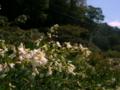 [花]萩の花