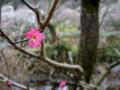 [花][梅]熱海梅園