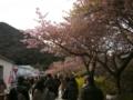 [風景・景観][花][桜]河津桜まつり(静岡県河津町)