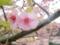 河津桜まつり(静岡県河津町)