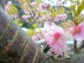 [花][桜]河津桜まつり(静岡県河津町)