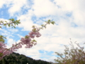 [空][花][桜]河津桜まつり(静岡県河津町)